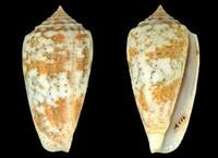Image of Conus arafurensis